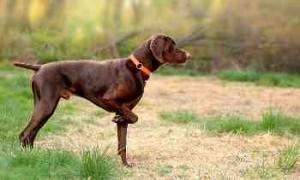 Perro muestra codornices - Caza de la codorniz